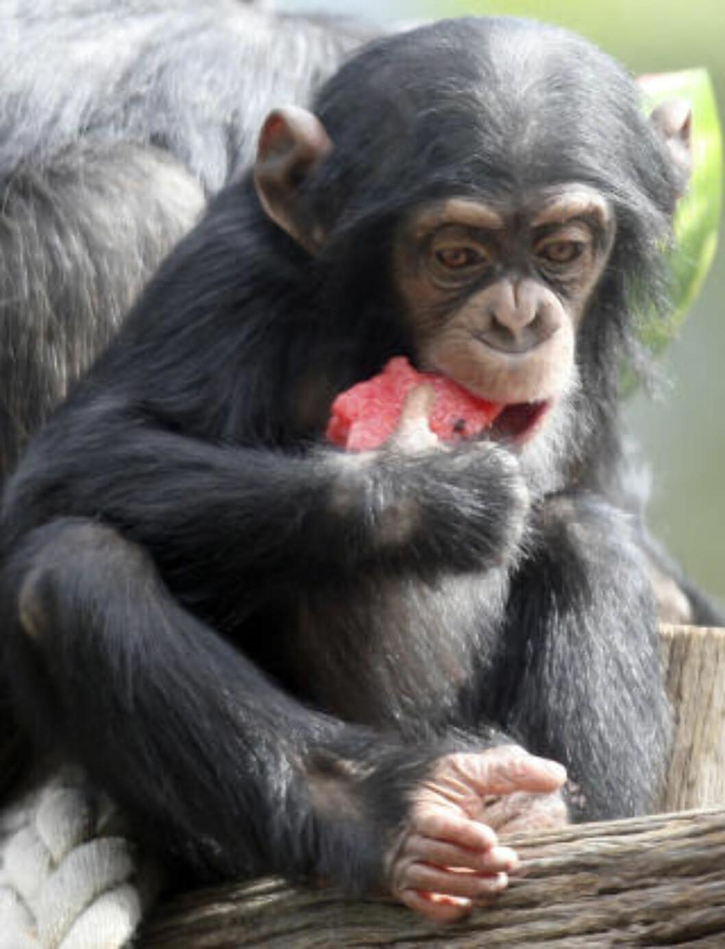 <strong>ANGRIPER:</strong> Det har lenge vært kjent at sjimpanser angriper og driver krig mot naboene, men motivet har vært uavklart. Foto: AP Photo/Rob Griffith/SCANPIX