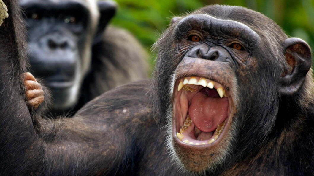 <strong>GÅR PÅ DRAPSTOKT:</strong> Studien, som ble utført over en tiårsperiode i Uganda, sier sjimpansene angriper nabosjimpanser for å ta over territoriet. Området til en bestemt gruppe økte med hele 22 prosent etter en rekke drapstokt, sier forskerne. Sjimpansene på bildet lever imidlertid innen svært definerte områder på en zoo i Singapore. Foto: REUTERS/Timothy Chong/SCANPIX