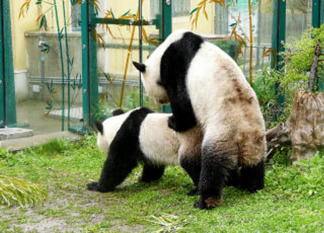 <strong>MOR OG FAR:</strong> Pandababyens mor Yang Yang og far Long Hui ble observert parrende to ganger den 12. april i år. Foto: Tiergarten Schönbrunn.