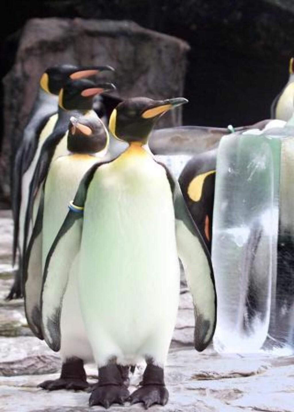FLOTTE: Kongepinviner på tur i en dyrepark i Japan. Forskningsprosjektet ble forøvrig gjort på ville pingviner. Foto: EPA
