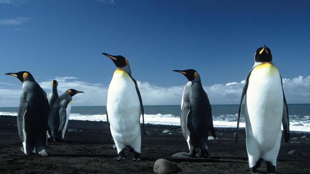 FLEKSIBLE: Det kan virke som om det å være i et forhold er viktigere for pingviner, enn kjønnet på den de er i forhold med. Foto: AFP