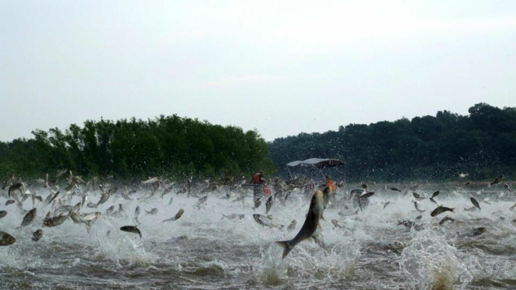 FÆL FISK: På bildet skyter haugevis av sølvkarper opp av vannet i Illinois River, etter at fisken er blitt forstyrret av lyden fra en båt. Foto: AP Photo/Illinois River Biological Station