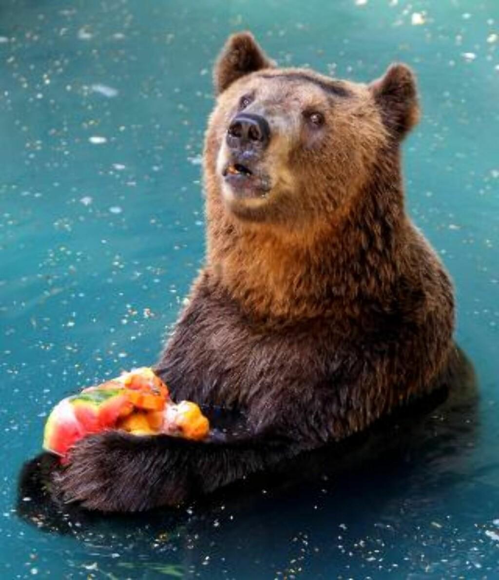 FEM OM DAGEN? Denne bjørnen har sikret seg en favn frossenfrukt. Foto: AP