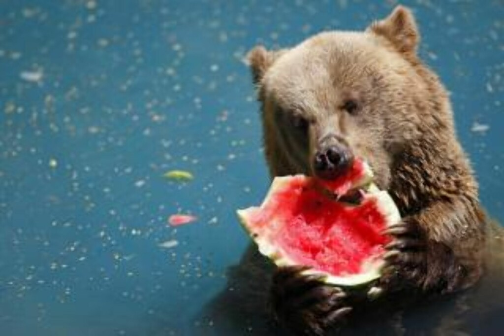 EN BJØRN ETTER VANNMELON: Frosen vannmelon faller i smak i Rios dyrepark. Foto: AP