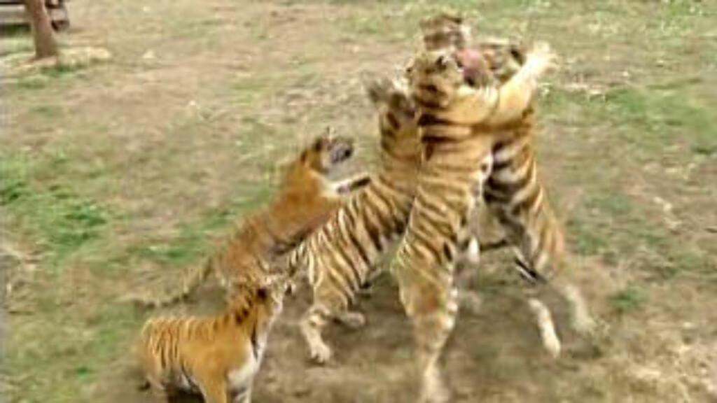 FØLGER MED: Under kjemper tigrene om den beste plassen, skulle 3-åringen falle helt ned. Foto: Reuters