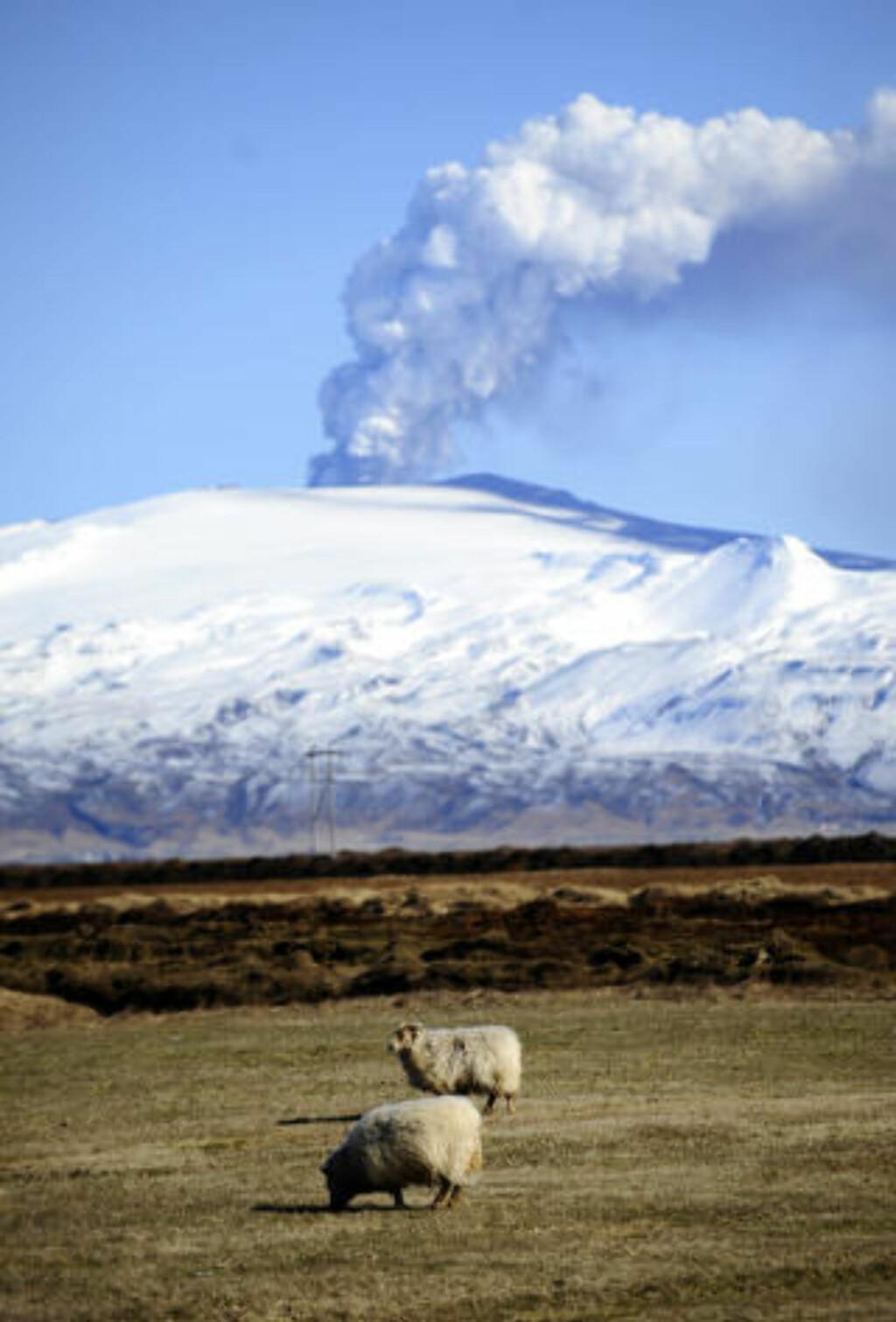BÆÆ: Blaserte sauer lar seg ikke imponere av utbruddene på Island. Foto: AFP PHOTO/Emmanuel Dunand/SCANPIX