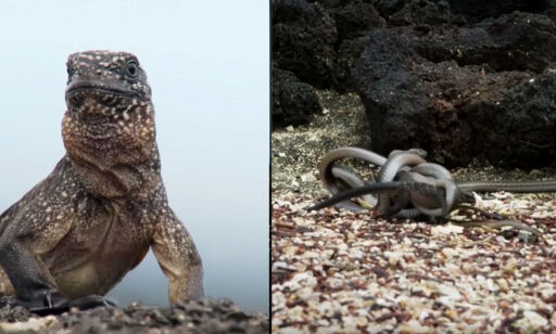 image: Iguanaens kamp mot slangedøden forbauser millioner. Men alt er kanskje ikke slik det ser ut til å være