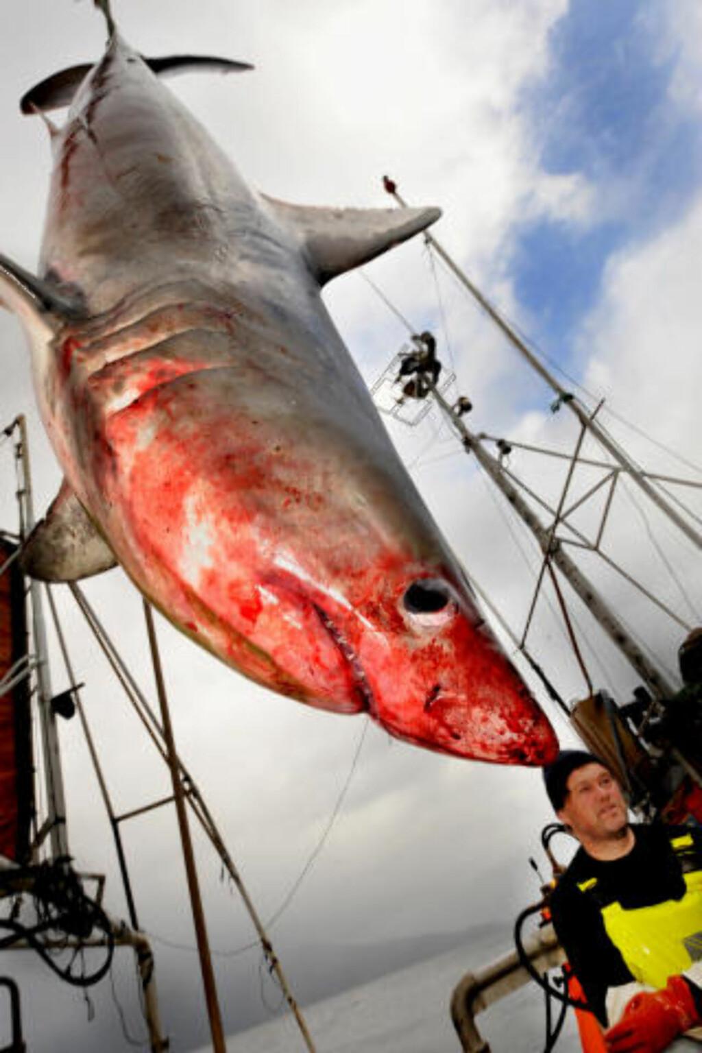 TO METER LANG: Her henger haien over dekket. Foto: Knut Arne Aarset, Sunnmørsposten