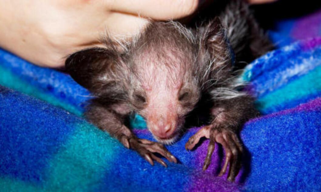 HJELPELØS: Den nyfødte aye-ayen får kjærlig omsorg i dyrehagen. Foto: DAVE PARSONS/DENVER ZOO/AP/SCANPIX