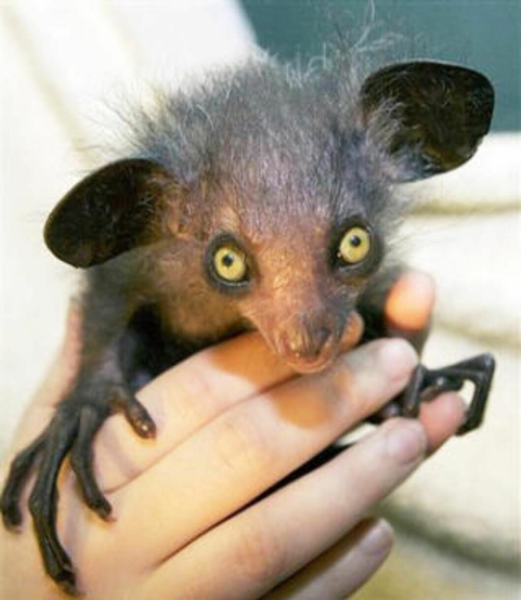 SYMBOL PÅ DØD: Aye-ayen har vanskelige levekår på Madagaskar; lokale folk anser den som et symbol på død og bærer av ondskap. Her en aye-aye som ble født i Bristol dyrehage for fire år siden. Foto: BRISTOL ZOO