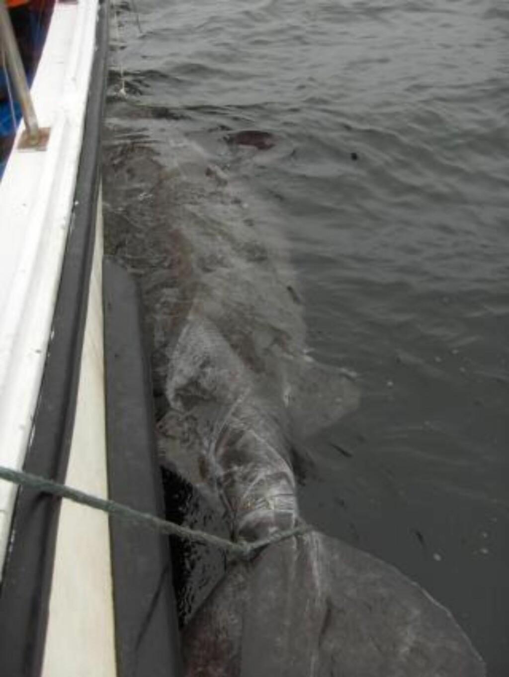 SLAPP MED SKREKKEN:  Den hundre år gamle og 643 kilo tunge haien slapp med skrekken. Her i full lengde før den blir sluppet tilbake til dypet.  Foto: FREDERIC V. KULTIN.