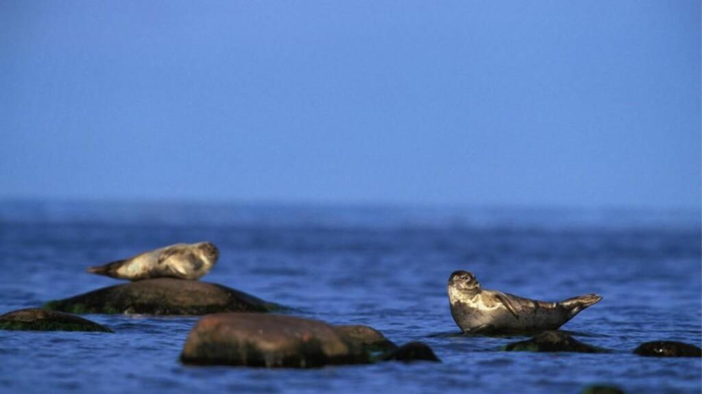 TILSØLT: WWF har oppdaget tre oljetilgrisete steinkobber, som vist på bildet, utenfor Stråholmen ved Langesund. Arkivfoto: SCANPIX.