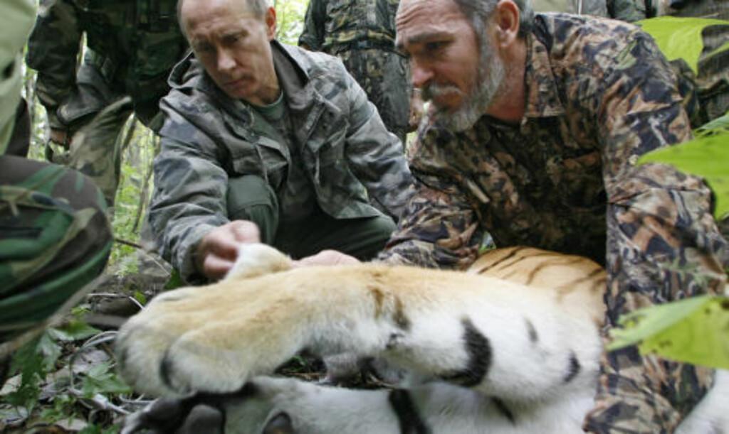 «REDDET TV-TEAM»: I fjor på denne tida sirkulerte nyheten om at Putin reddet et TV-team fra denne tigeren, da han skjøt den med en bedøvelsespil. Foto: AP Photo/RIA-Novosti, Alexei Druzhinin/SCANPIX