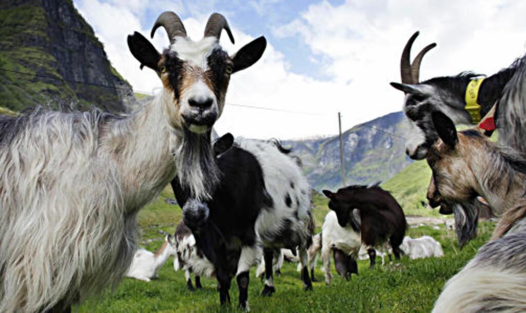 GEITER: I Undredal gir geitene melk som er opphavet til den etter hvert berømte Undredalsosten. Den brune kalles brimost og den hvite har fått premie. Foto: Ole C. H. Thomassen
