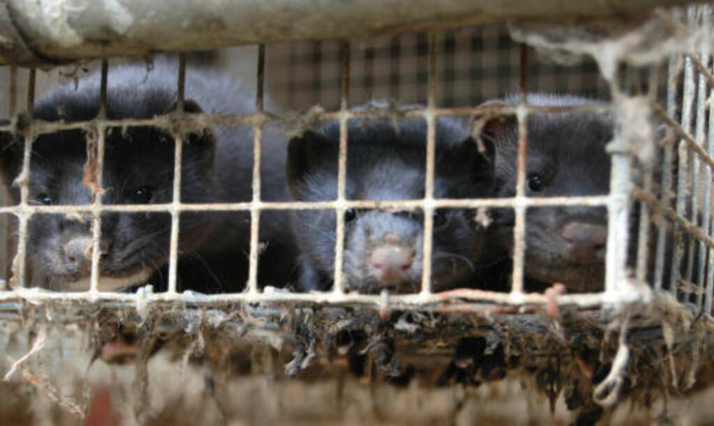 BURDE VÆRT AVLIVET: Bildene som organisasjonen har lagt ut på nett, viser dyr med synlige skader og skitne bur, slik som i dette tilfellet. Foto: NETTVERK FOR DYRS FRIHET