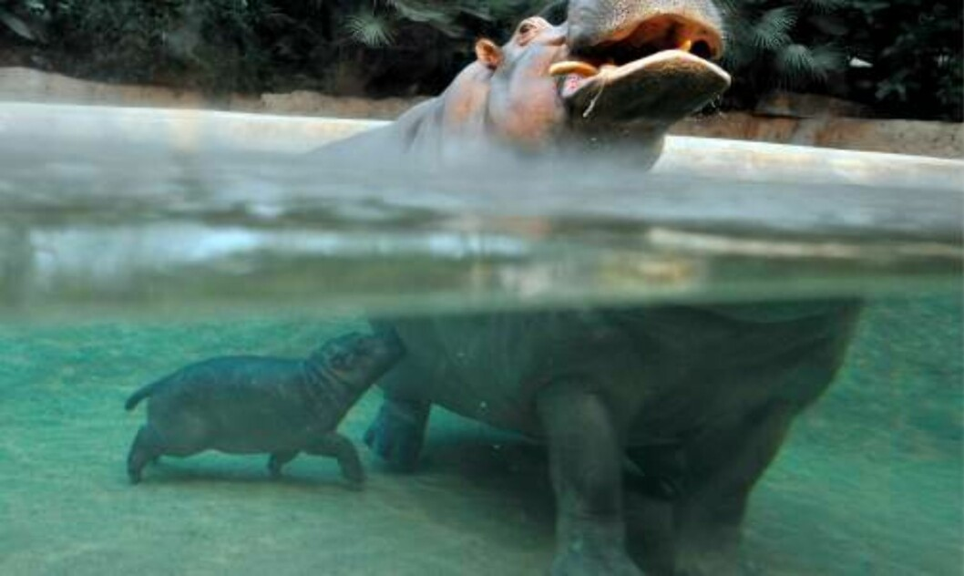 <strong>SVØMMER:</strong> Sammen med mamma, Kati, viste den lille flodhest-ungen seg fram for første gang for publikum i Berlin Zoo i dag. Foto: GERO BRELOE/SCANPIX