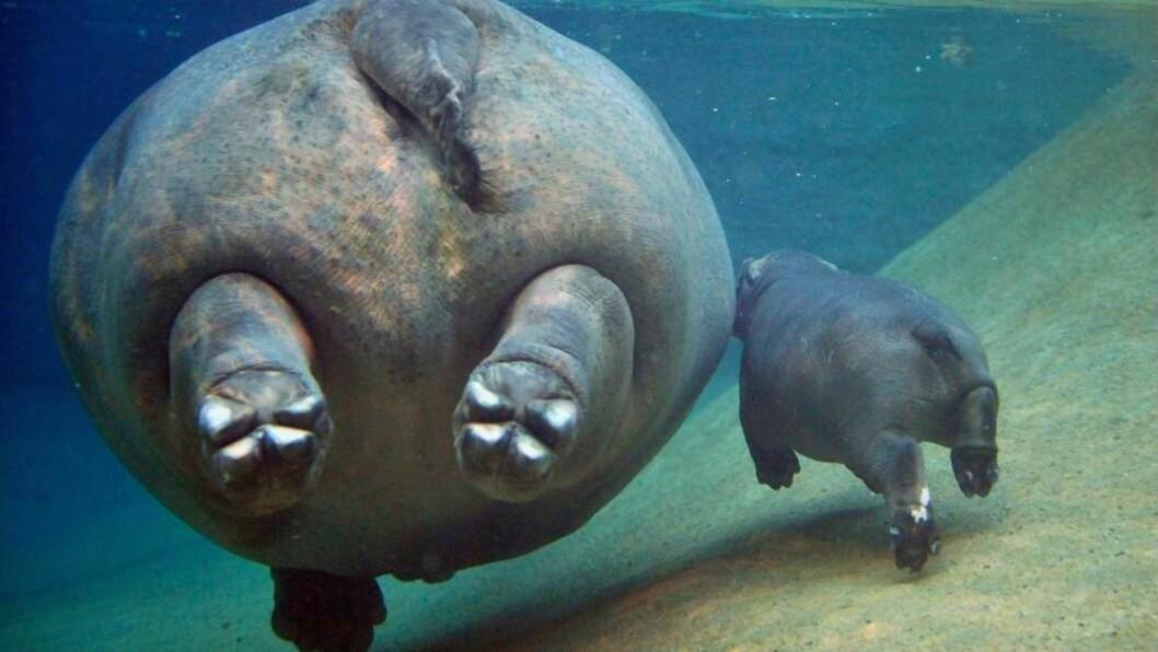 <strong>MED MAMMA:</strong> Den lille flodhesten som ble født i Berlin Zoo den 29. november i år, er her ute på en svømmetur med sin mor, Kati. Foto: GERO BRELOE/SCANPIX