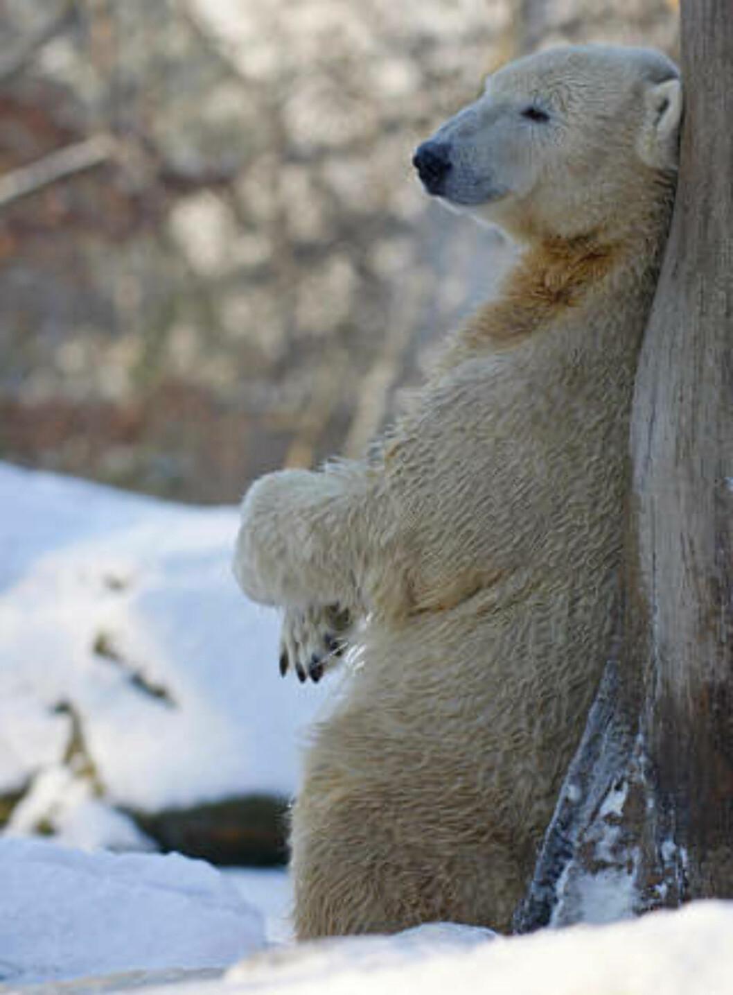 <strong>TAR DET ISi:</strong> Knut koser seg i kulda. Foto: JOHANNES EISELE/Reuters/Scanpix
