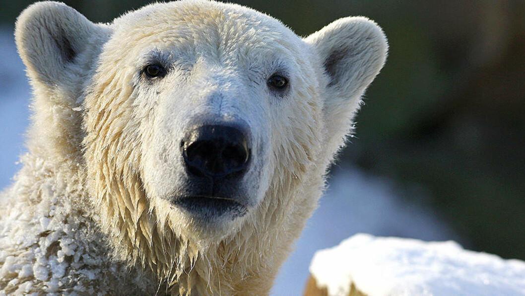 <strong>JO KALDERE, JO BEDRE:</strong> Isbjørnen Knut har det knakende godt i kulda i Berling. Foto: JOHANNES EISELE/Reuters/Scanpix
