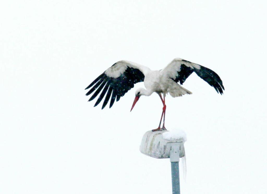 HAMAR-KJENDIS: Storker bor vanligvis ikke på Hamar, iallfall ikke om vinteren. Sture Stork trosser imidlertid klimaet, og har overvintret på en lokal avfallsstasjon. Her speider han trolig etter mat. Foto: Emil Krokan