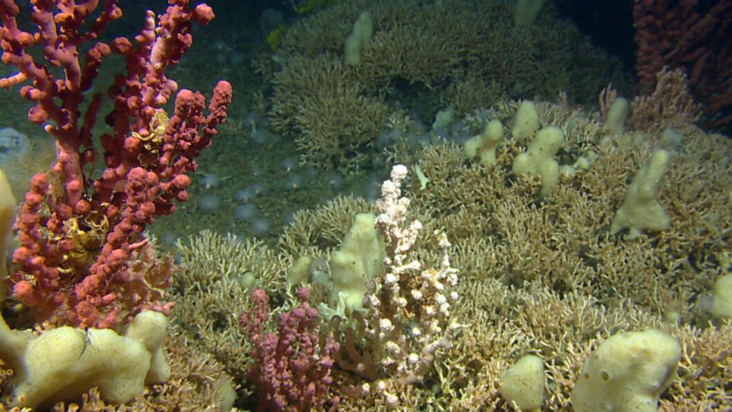 NORSK NATUR: Lophelia-rev med sjøtrær og Mycale-svamper. Foto: Mareano/ Havforskningsinstituttet.