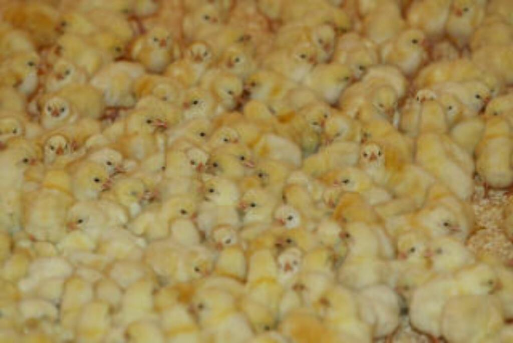 HVOR MANGE? En flokk kyllinger teller kanskje hverandre mens de avventer slakting? Foto: Berit Roald / SCANPIX