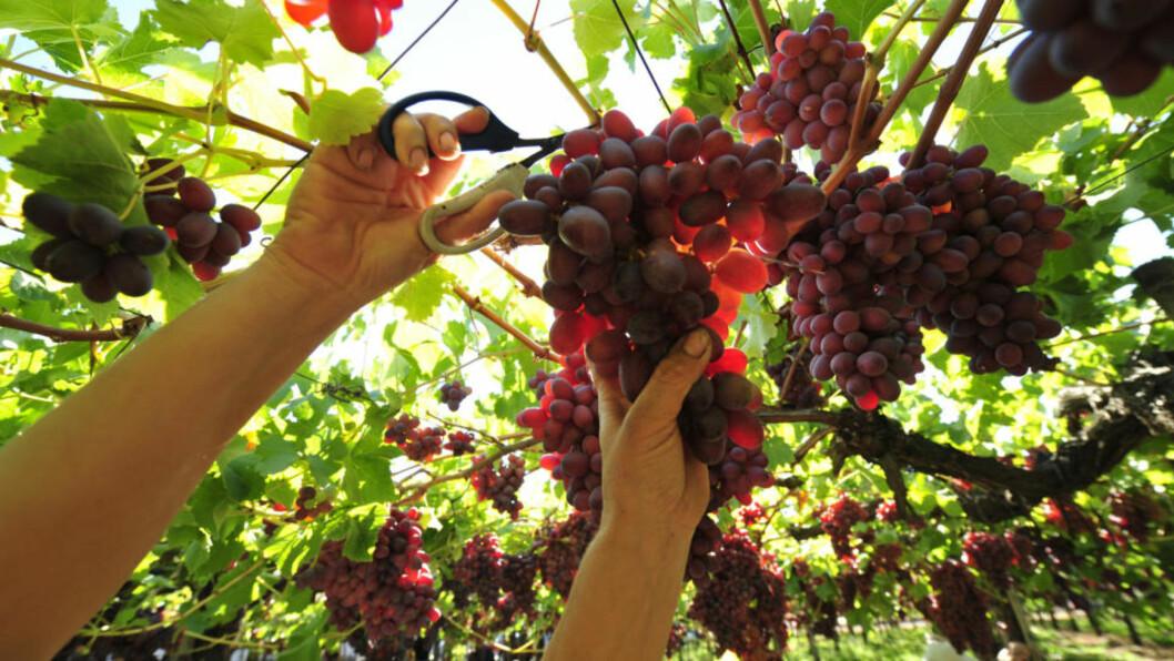 <strong>POPULÆRE DRUER:</strong> Her plukkes driuene på vingården Via Mament i Chile. Foto: AFP/MARTIN BERNETTI