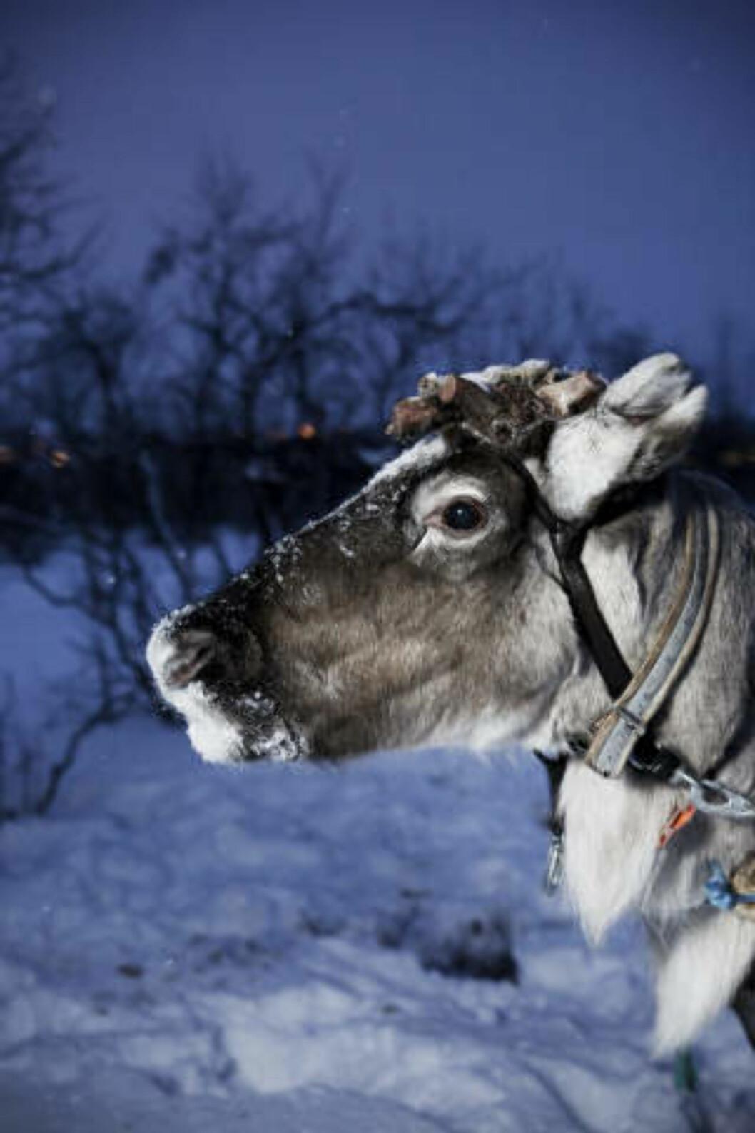 <strong>NISSENS DYR:</strong> Det eksotiske med reinsdyret lokker Lonely Planet.Foto: Richard Eriksen