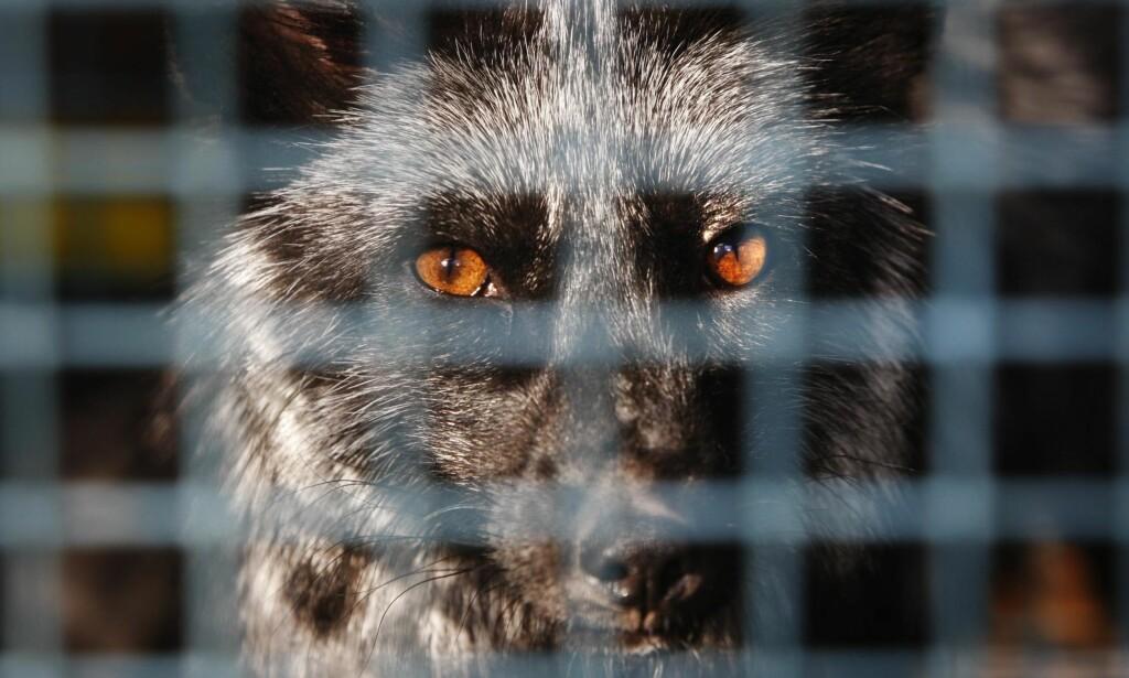 «HÅPLØST»: Det hjelper ikke at pelsdyroppdrettere kan ha gode hensikter når utgangspunktet er helt håpløst, mener Dyrevernalliansen.