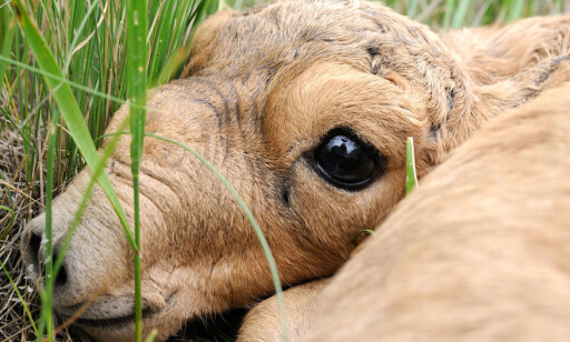 MASSEDØD: Over 150 000 antiloper døde av den aggressive bakterien Pasteurella multocida. Foto: NTB Scanpix
