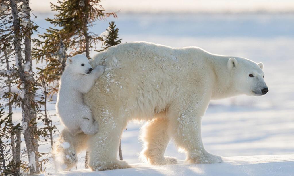 BÆREMEIS: Isbjørnungen som ikke lenger ville gå selv, fant den sveitsiske fotografen i Wapusk nasjonalpark i Manitoba, Canada Foto: Daisy Gilardini / Wildlife Photographer of the year