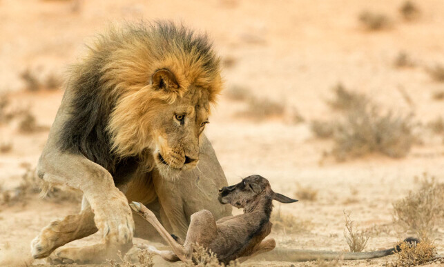 DØDENS BLIKK: I Kgalagadi nasjonalpark i Sør Afrika, finner løven sitt bytte, og den ungarske fotografen sitt motiv. Foto: Johan Kloppers / Wildlife Photographer of the yeae