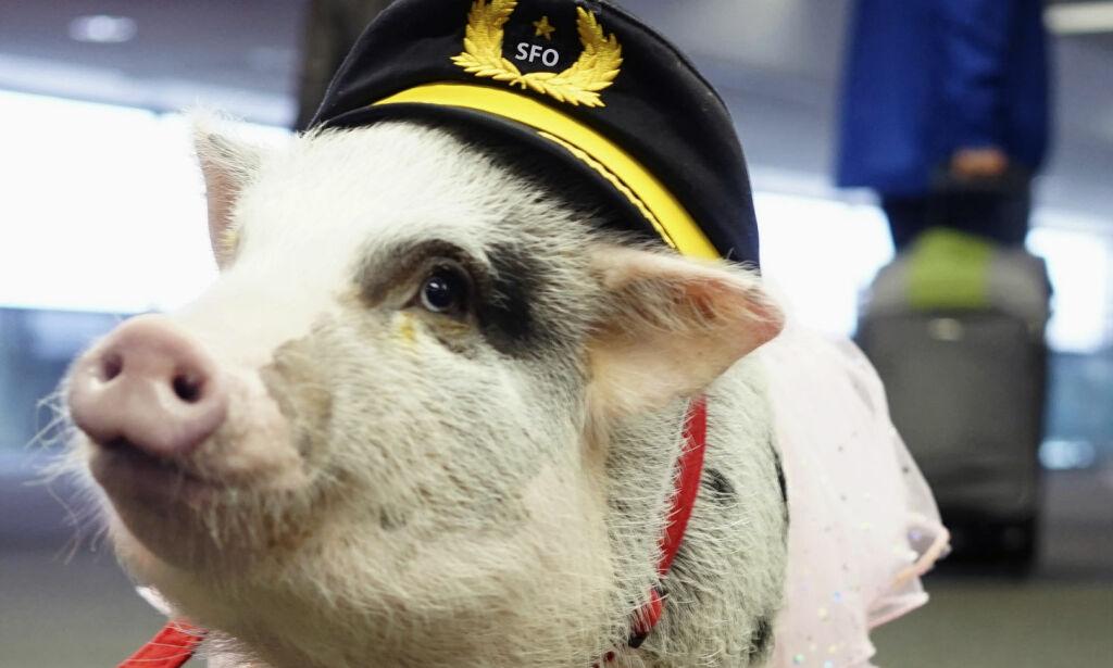 image: Denne grisen skal fjerne stress og flyskrekk på en av USAs travleste flyplasser
