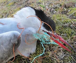 FANGET: Rødnebbterne som har viklet nebbet inn i plasttau. Foto: Sysselmannen på Svalbard