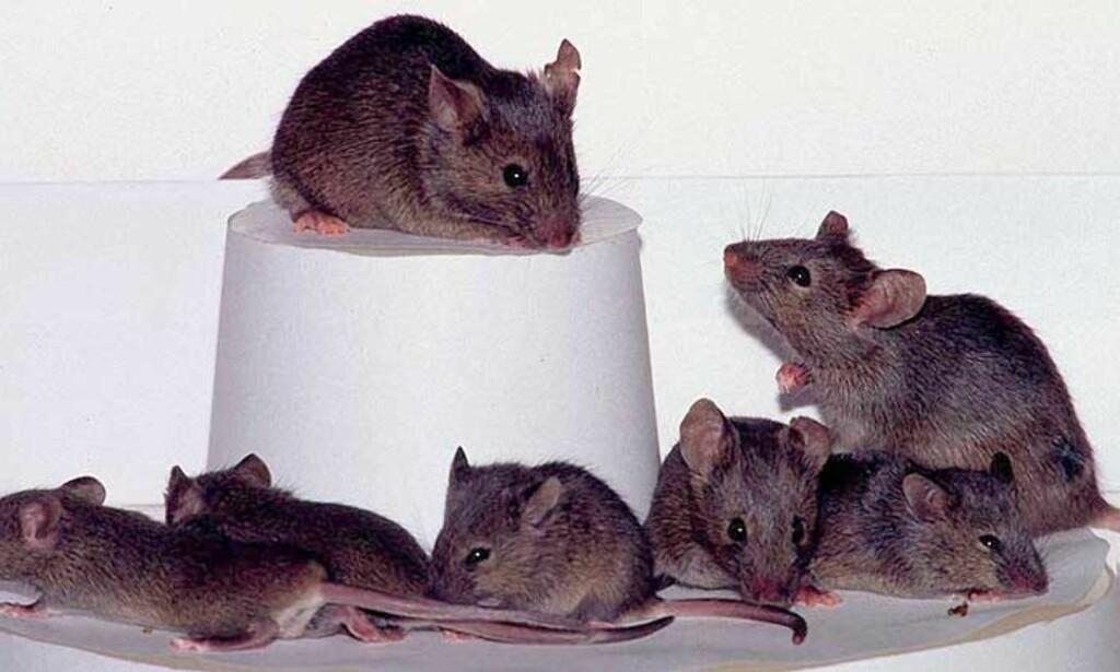 image: Smittet av virus fra hamster