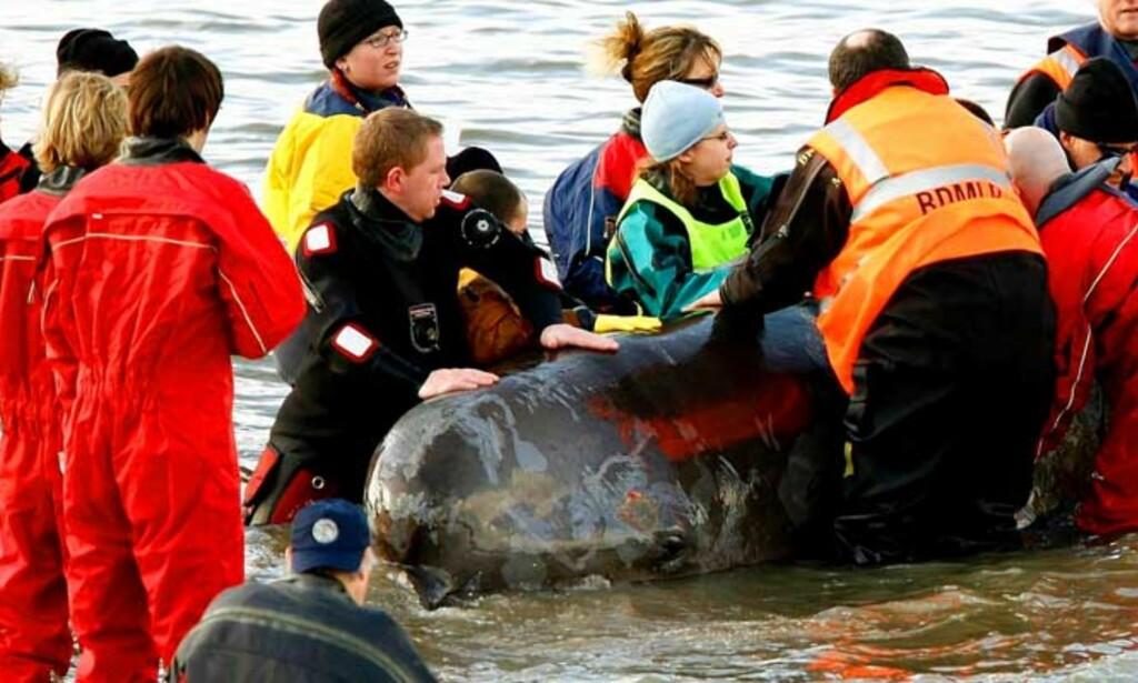 UVISS SKJEBNE: Det er ikke klart hva som skjer med hvalen. Veterinærer advarer mot at historien kan få en ulykkelig slutt. Foto: Scanpix