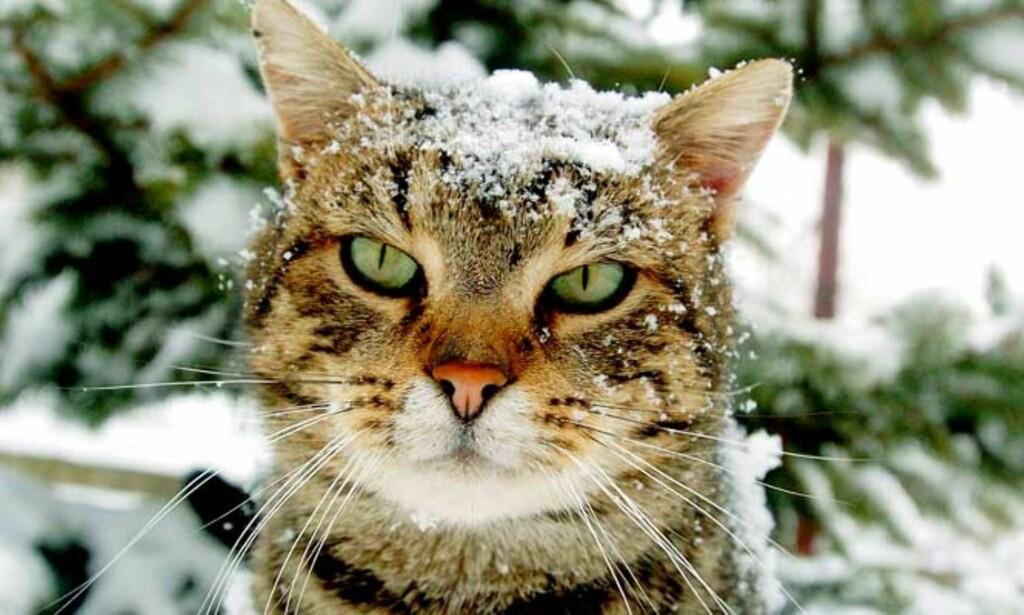 PUS I VIRUSFARE: Den første katten er bekreftet død av fugleinfluensa i Europa. Foto: SCANPIX
