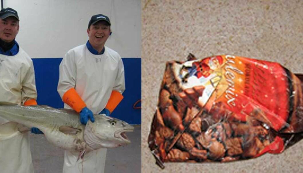 <strong><b>GODTETORSK:</strong></b> Fiskesløyerne Leif Tore Flå (t.v.) og Birger Knutsen fant en hel godtepose i magen til den 25,8 kilo tunge torsken. Foto: Glenn McMaster