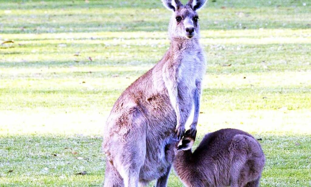 KENGU: Disse kenguruene kan hoppe. Det kunne ikke en av dens forfedre. Foto: AP/Scanpix