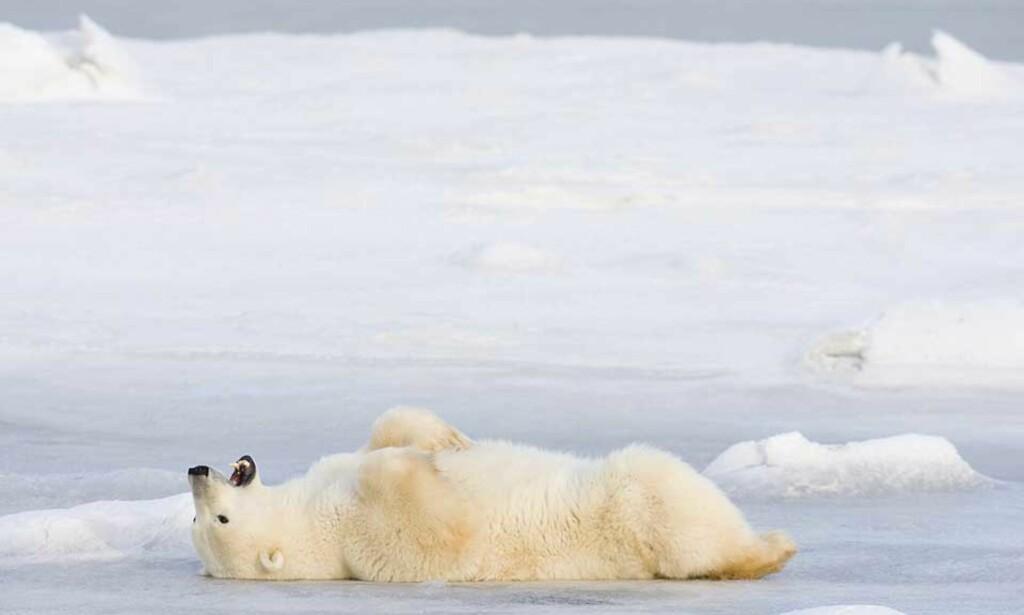 HAR LITT IS IGJEN Å LIGGE PÅ: Isbjørnen ikke riktig så truet av klimagasser som NTB og norsk presse påsto. Foto: SCANPIX