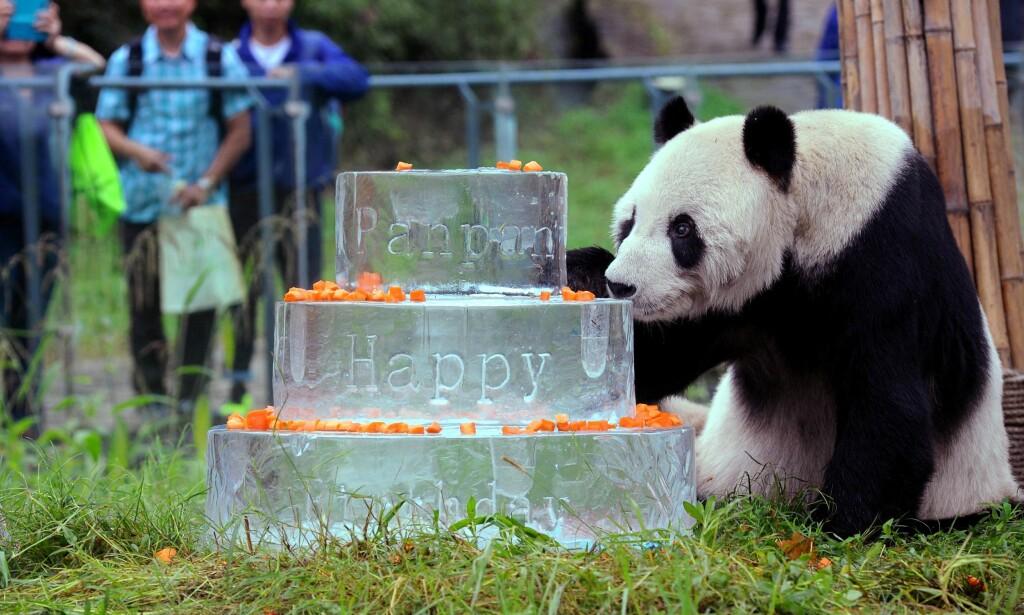 30 ÅR: I september i fjor feiret Pan Pan 30 år. I den anledning fikk han en kake laget av is. Foto: AFP / Stringer
