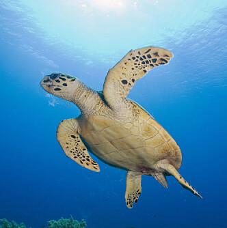 <strong>RIKT MARITIMT LIV:</strong> De amerikanske Jomfruøyene er kjent for vakker natur, flotte strender, og et rikt liv i havet. Å snorkle blant havskilpadder er en populær aktivitet. Foto: Shutterstok / NTB Scanpix