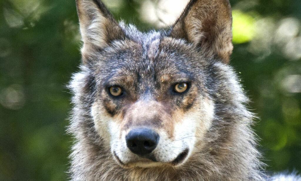 image: Ulven truer elgjakta. Det er drivkraften bak ulveopprøret