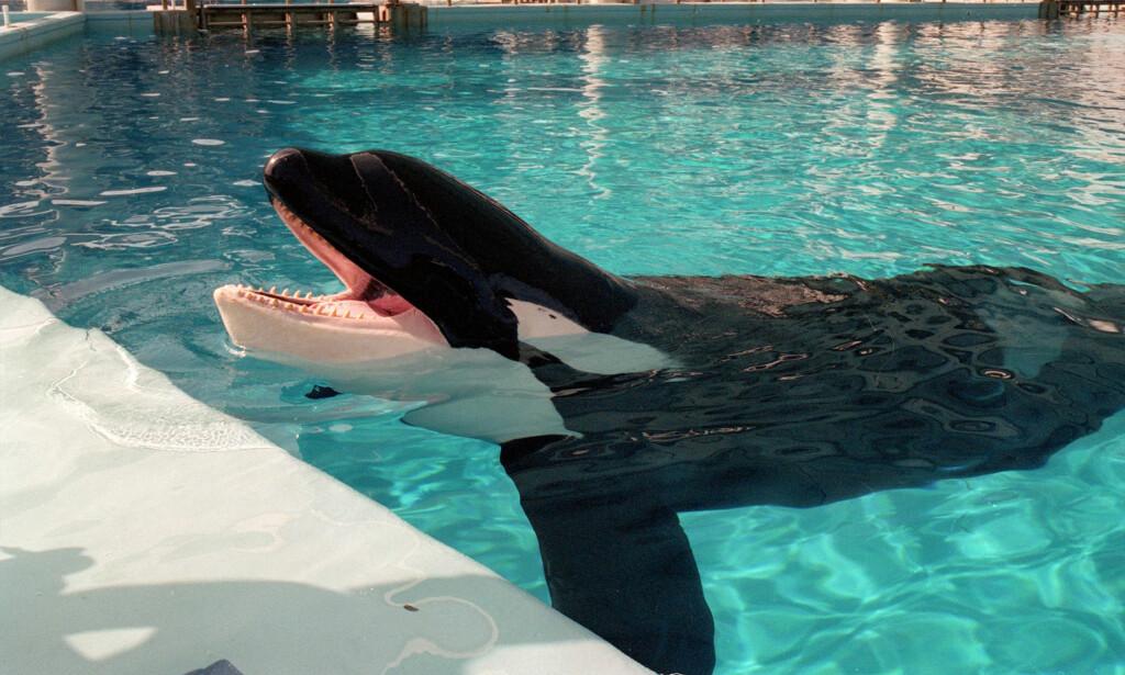 OMSTRIDT: Spekkhoggeren Tilikum døde i fangenskap i den omstridte hvalparken Sea World, som ble satt i et ekstremt dårlig lys etter dokumentaren «Blackfish» i 2013. Foto: Frank Rivera / Orlando Sentinel / Polaris