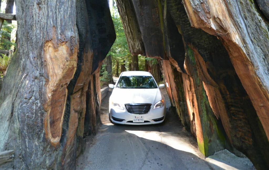 Redwood-skogen byr på noen uvanlig store trær. Foto: Ronny Frimann