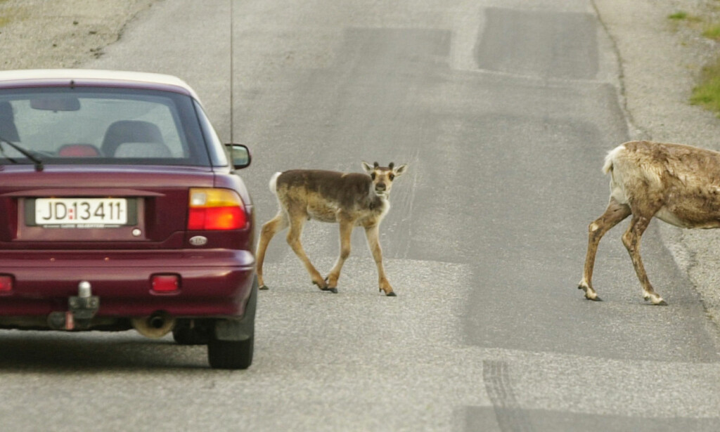 LAR BILEN LEVE: Finnmarkingene - her illustrert av reinsdyr som krysser veien i Hammerfest - er de som gjennomsnitlig venter lengst med å ta vrakpant for bilen sin i Norge. Foto: Erlend Aas / SCANPIX