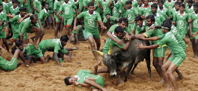 image: Omstridt sport vekker oppsikt: - Det er en ondskapsfull og brutal tortur av dyrene