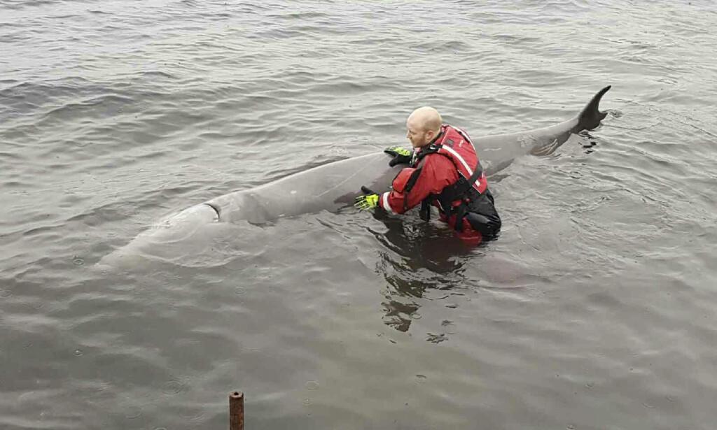 SYK: Forskere fant 30 plastposer i magen på den syke hvalen som måtte avlives på Vindenes på Sotra i Hordaland. Foto: Sotra brannvesen / NTB scanpix