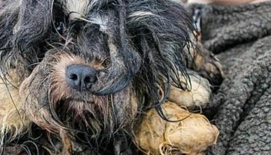 Rystende funn på gård i Danmark: Flere titalls mishandlede og døde hunder
