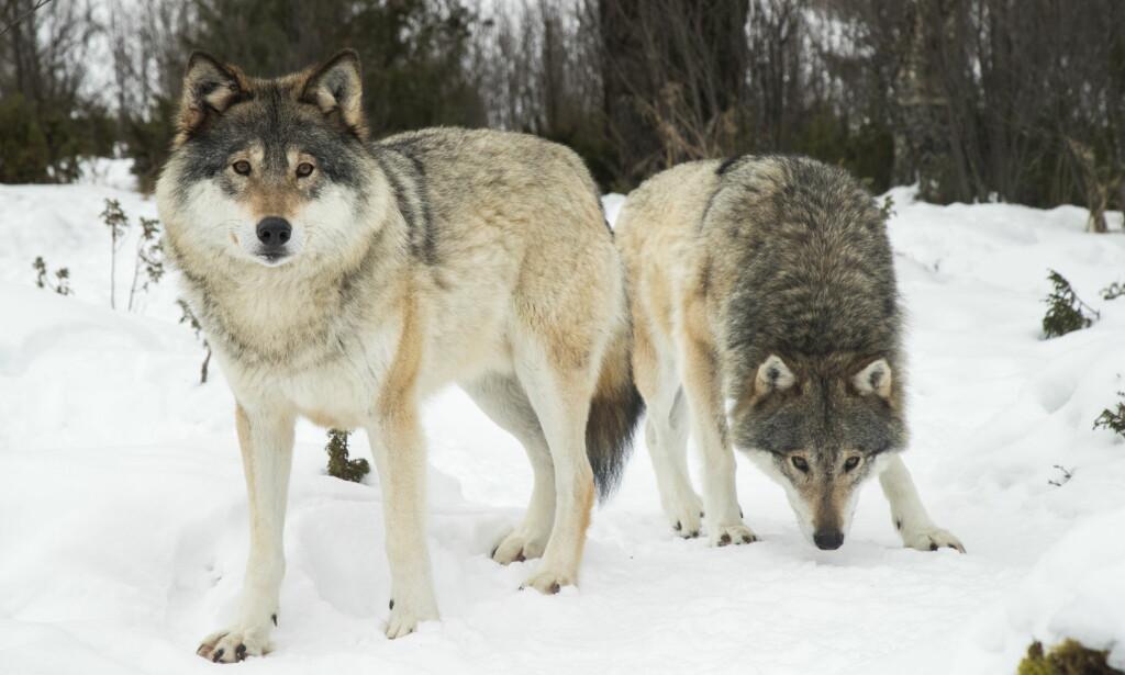 VIL FELLE FLERE ULVER: Regjeringen har besluttet å felle tre ulver i Julussa og Osdalen. Foto: Heiko Junge / NTB scanpix